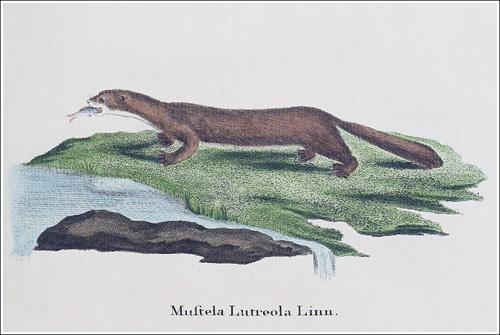Mustela lutreola Schreber 1778_500