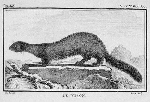 VISON AMERICANO Histoire naturelle Buffon 1765  t13 v2__96_500
