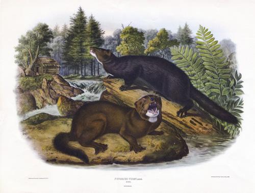 Iberian mink Audubon_500