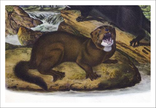 Iberian mink Audubon_rec_500