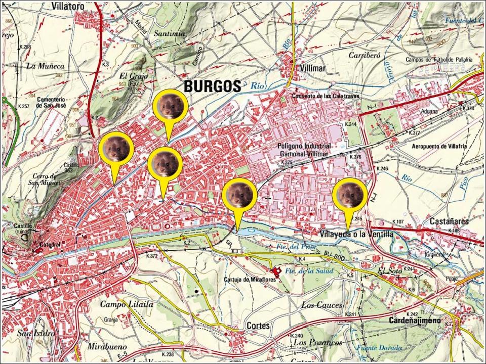 Burgos mink
